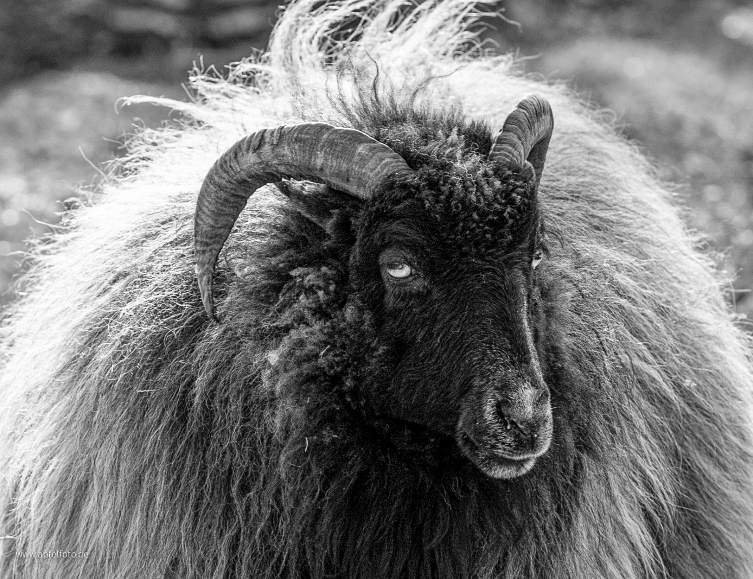 Closeup Sheep